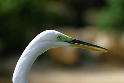 Photograph - Egret by Anthony Jones