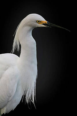 Egret Art Print by Cyndy Doty