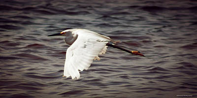 Photograph - Egret In Flight  by Debra Forand