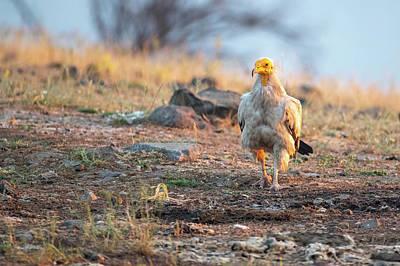 Photograph - Egyptian Vulture - Neophron Percnopterus by Jivko Nakev