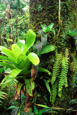 Epiphytic Bromeliads Photograph - El Yunque National Forest by Thomas R Fletcher