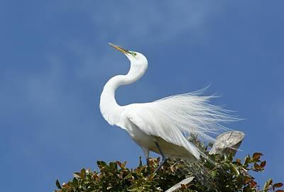 Photograph - Elegant Egret by Fraida Gutovich