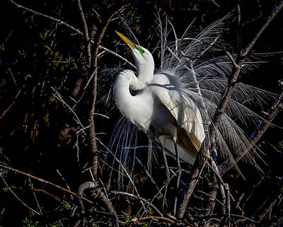 Art Print featuring the photograph Elegant Egret by Kelly Marquardt