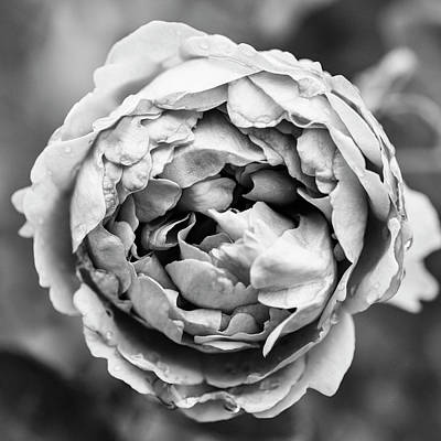 Photograph - Elegant Rose In Black And White by Vishwanath Bhat