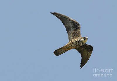 Eleonoras Falcon Art Print by Richard Brooks/FLPA