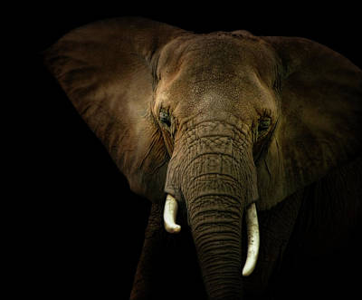 Photograph - Elephant Against Black Background by James Larkin