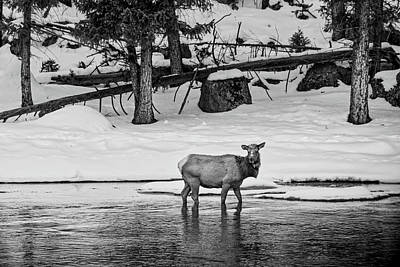 Photograph - Elk Cow by L O C