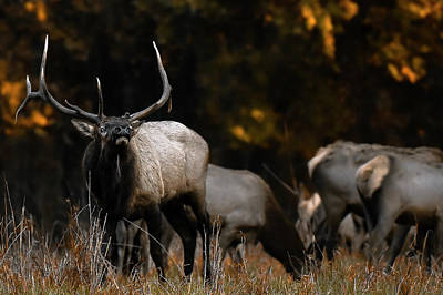 Photograph - Elk  by Garett Gabriel