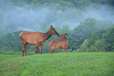 Photograph - Elk Getting To Knows One Another by Alan Lenk