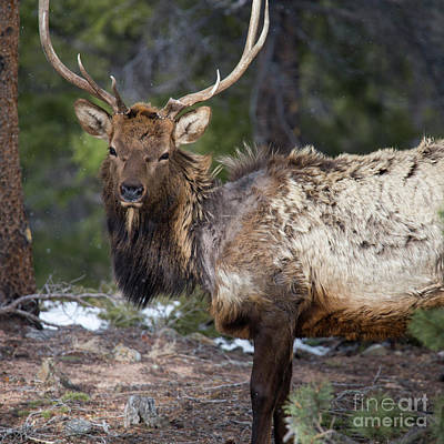Colorado Wildlife Wall Art - Photograph - Elk In Rocky Mountain National Park  by Twenty Two North Photography