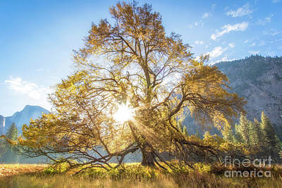 Photograph - Elm Tree  by Vincent Bonafede