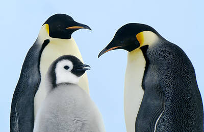 Three Chicks Photograph - Emperor Penguin Aptenodytes Forsteri by Jan Vermeer