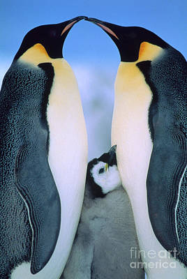 Photograph - Emperor Penguin Family by Tui de Roy