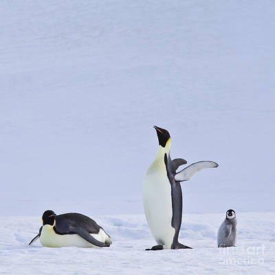 Emperor Penguins And Their Chick Art Print