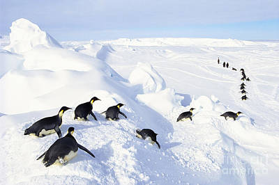 Photograph - Emperor Penguins by Frans Lanting