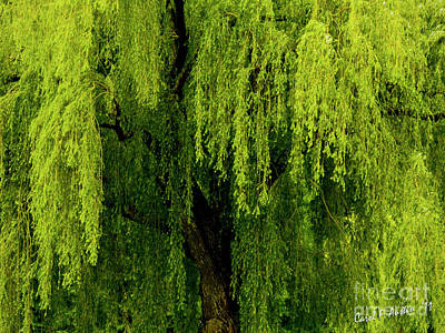Photograph - Enchanting Weeping Willow Tree  by Carol F Austin