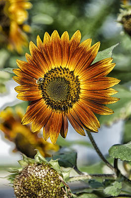 Photograph - End Of Sunflower Season by Eric Miller