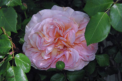 Photograph - English Rose Pink Abraham Darby  by Robyn Stacey