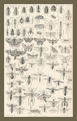 Beetle Drawing - Entomology by Dreyer Wildlife Print Collections
