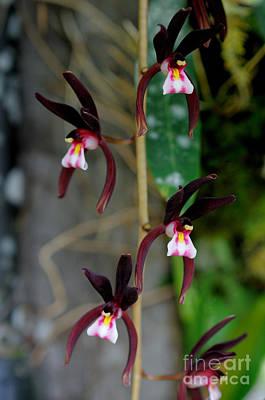 Epiphytic Cymbidium Orchid Art Print