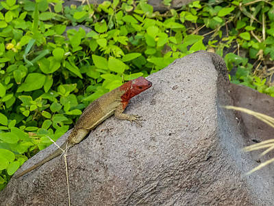 Photograph - Espanola Lava Lizard by Harry Strharsky