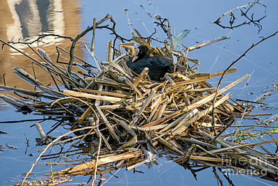 Photograph - Eurasian Coot On Nest by Patricia Hofmeester