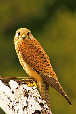 Photograph - Eurasian Kestrel by Bill Barber