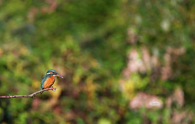 Photograph - Eurasian, River Or Common Kingfisher, Alcedo Atthis, Neuchatel,  by Elenarts - Elena Duvernay photo