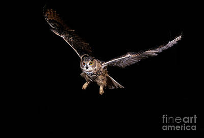 Birds In Flight At Night Photograph - European Eagle Owl Bubo Bubo by Gerard Lacz