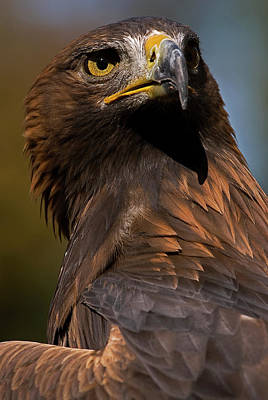 Photograph - European Golden Eagle by JT Lewis
