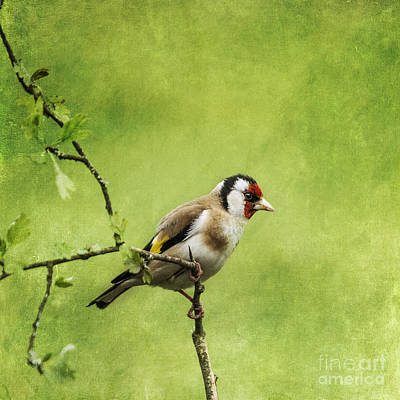 Finch Photograph - European Goldfinch Carduelis Carduelis by Liz Leyden