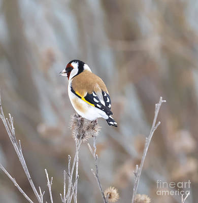 Photograph - European Goldfinch by Ricky L Jones