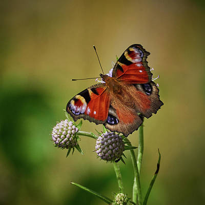 Photograph - European Peacock On Devils Bit Scabious Flower by Jouko Lehto