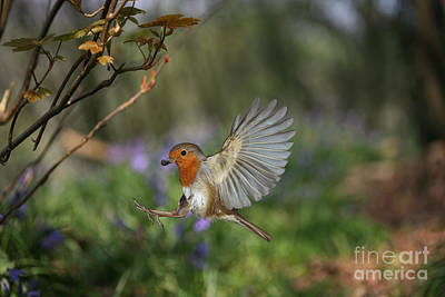 Photograph - European Robin Alighting by Warren Photographic