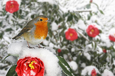 Photograph - European Robin On Snowy Red Camellia by Warren Photographic
