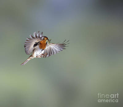 Photograph - European Robin On The Wing by Warren Photographic