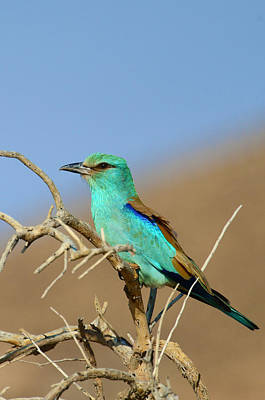 Photograph - European Roller by Balram Panikkaserry