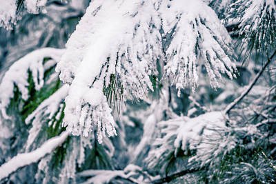 Photograph - Evergreen Plants Covered In Snow In January After Winter Storm by Alex Grichenko