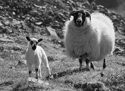 Ewe And Lamb No2 Art Print by John Cox