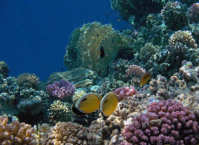 Exquisite Butterflyfish In The Red Sea Art Print