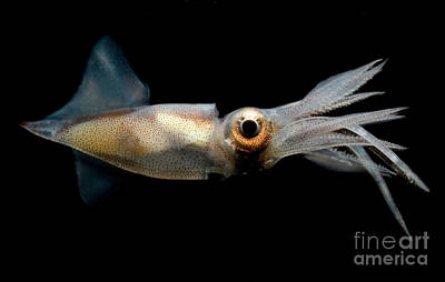 Photograph - Eye Flash Squid by Dante Fenolio