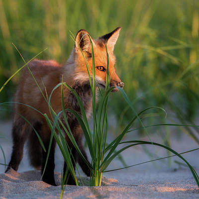 Photograph - Eye Of The Fox by Bill Wakeley