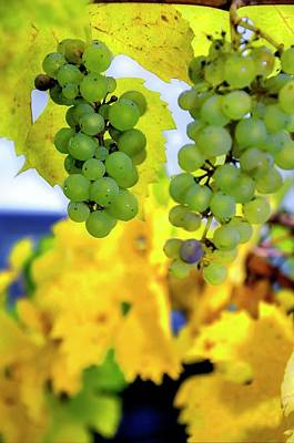 Photograph - Fall Grapes by Jerry Sodorff