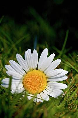 Photograph - Fallen Daisy by Scott Holmes