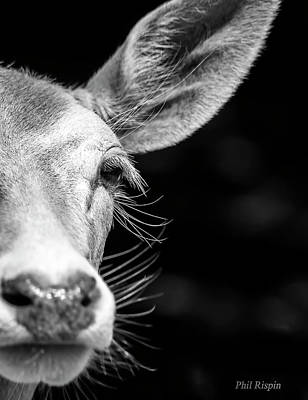 Photograph - Fallow Deer by Philip Rispin