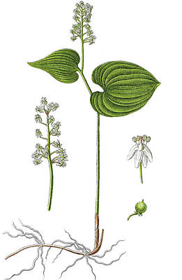 False Lily Of The Valley Or May Lily, Maianthemum Bifolium Art Print