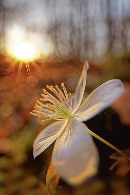 Photograph - False Rue Anemone by Robert Charity
