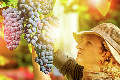 Photograph - Farmer Controlling Red Grape by Benny Marty
