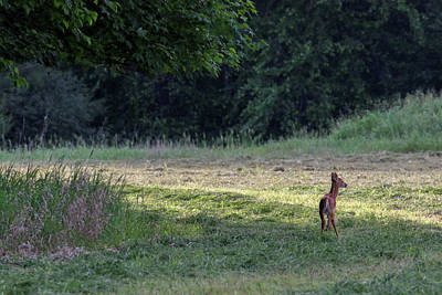 Photograph - Fawn by Brook Burling