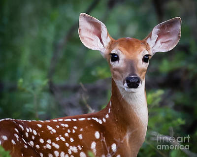 Photograph - Fawn  by DS Dodd